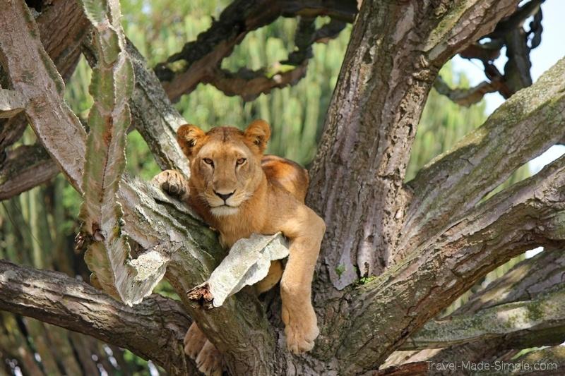 Uganda safari Queen Elizabeth park lion cub in tree