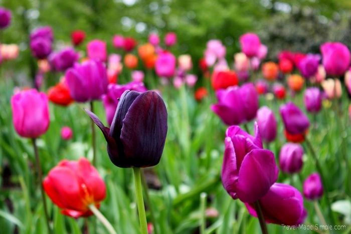 city breaks wall paper - Amsterdam tulips