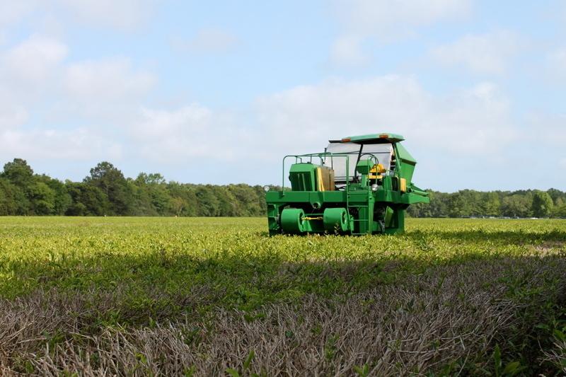 what to do in Charleston - Charleston Tea Plantation